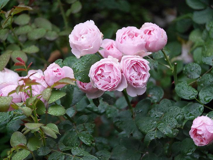 アントニオ・ガウディ(半ツルバラ)の花が満開になった。2020年-005.jpg