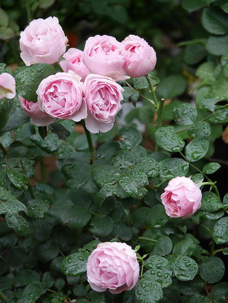アントニオ・ガウディ(半ツルバラ)の花が満開になった。2020年-006.jpg
