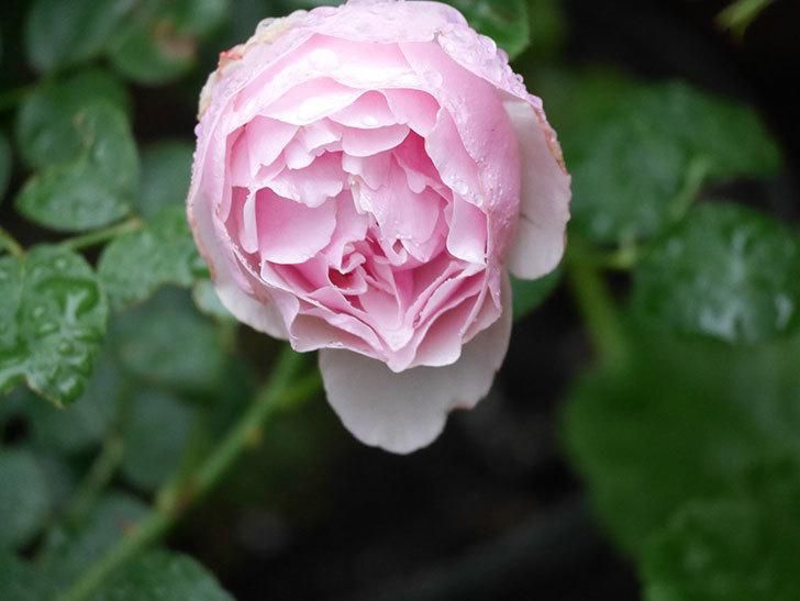 アントニオ・ガウディ(半ツルバラ)の花が満開になった。2020年-007.jpg