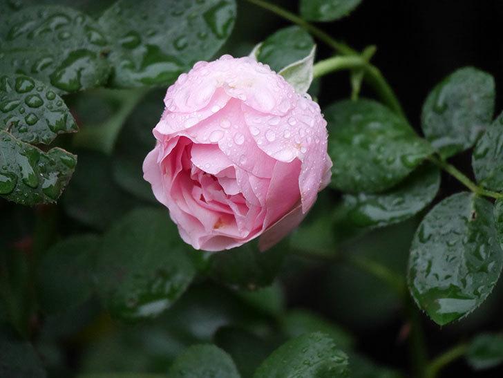 アントニオ・ガウディ(半ツルバラ)の花が満開になった。2020年-008.jpg