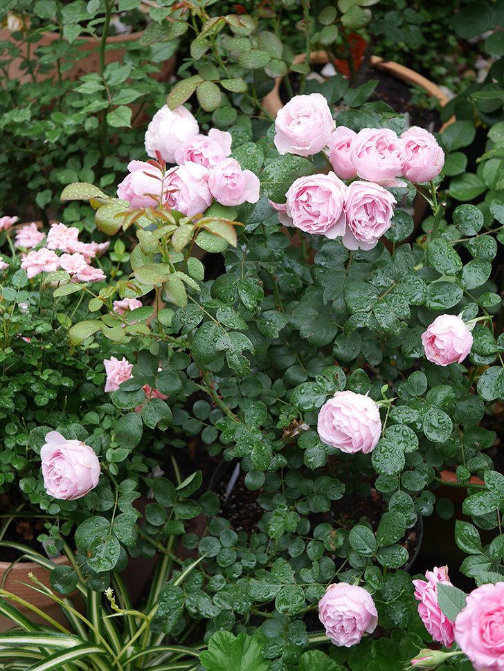 アントニオ・ガウディ(半ツルバラ)の花が満開になった。2020年-010.jpg