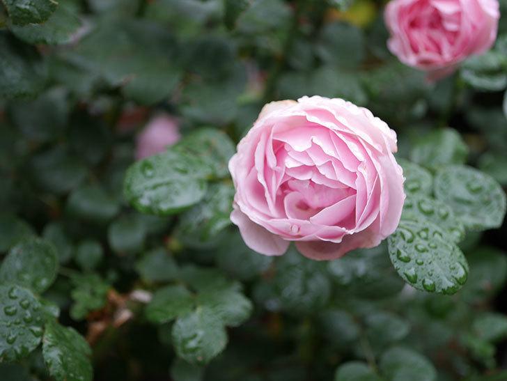 アントニオ・ガウディ(半ツルバラ)の花が満開になった。2020年-015.jpg