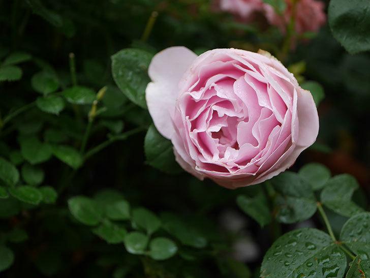 アントニオ・ガウディ(半ツルバラ)の花が満開になった。2020年-017.jpg