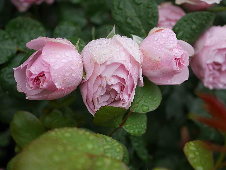 アントニオ・ガウディ(半ツルバラ)の花が満開になった。2020年-018.jpg