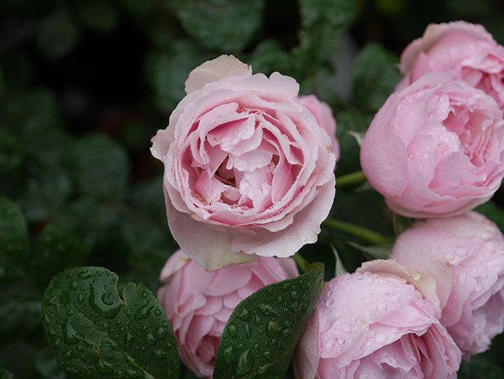 アントニオ・ガウディ(半ツルバラ)の花が満開になった。2020年-020.jpg