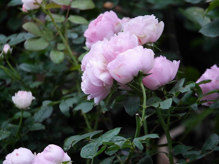 アントニオ・ガウディ(半ツルバラ)の花が満開になった。2020年-022.jpg