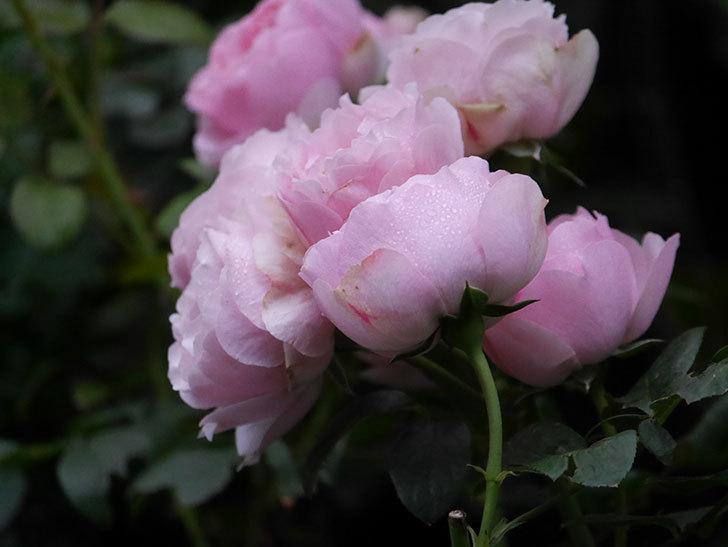 アントニオ・ガウディ(半ツルバラ)の花が満開になった。2020年-023.jpg