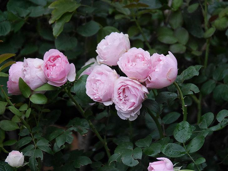 アントニオ・ガウディ(半ツルバラ)の花が満開になった。2020年-024.jpg