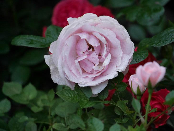 アントニオ・ガウディ(半ツルバラ)の花が満開になった。2020年-027.jpg