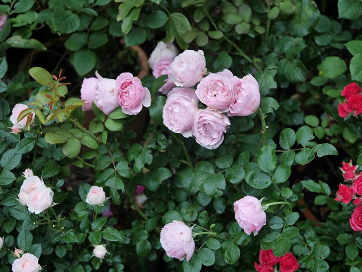 アントニオ・ガウディ(半ツルバラ)の花が満開になった。2020年-028.jpg