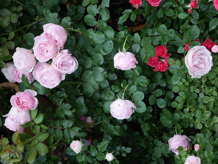 アントニオ・ガウディ(半ツルバラ)の花が満開になった。2020年-029.jpg