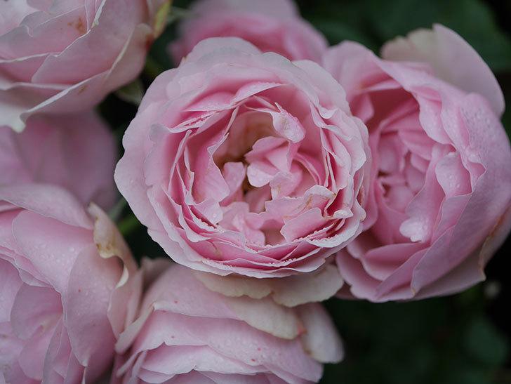 アントニオ・ガウディ(半ツルバラ)の花が満開になった。2020年-030.jpg