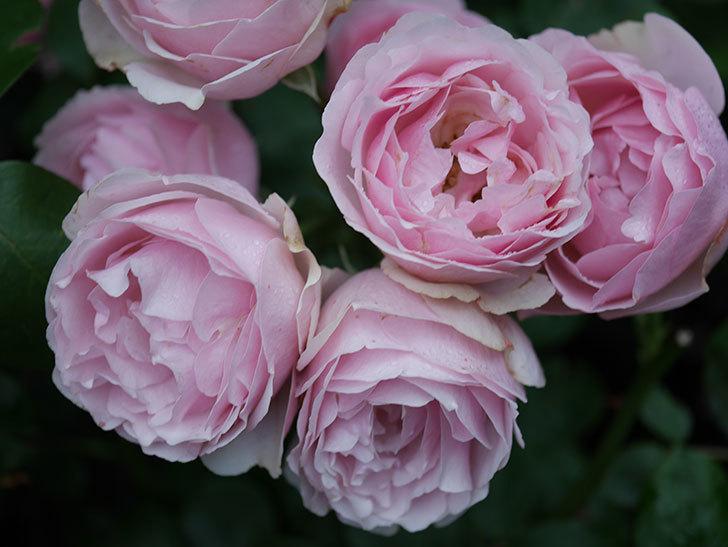 アントニオ・ガウディ(半ツルバラ)の花が満開になった。2020年-031.jpg