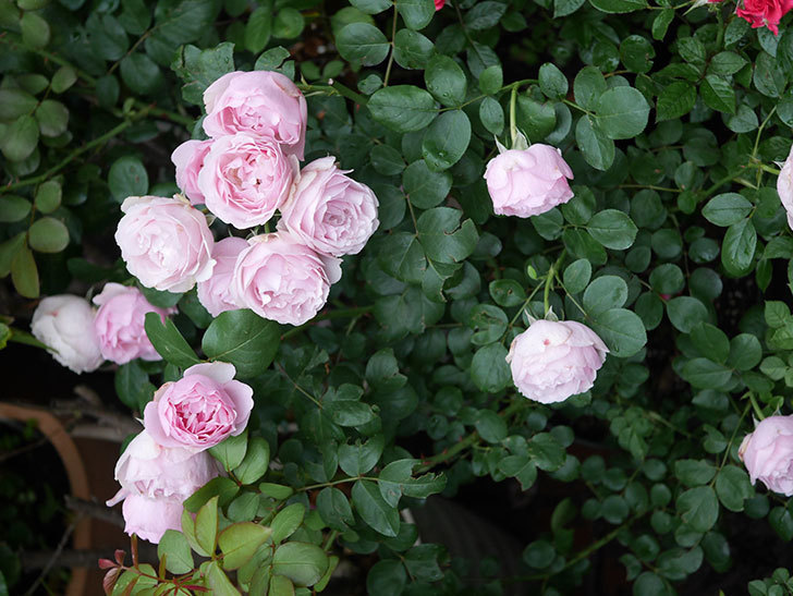 アントニオ・ガウディ(半ツルバラ)の花が満開になった。2020年-034.jpg