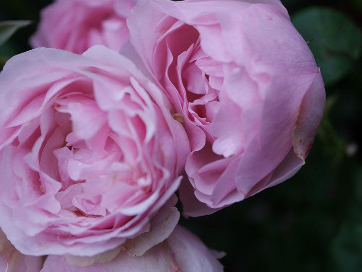 アントニオ・ガウディ(半ツルバラ)の花が満開になった。2020年-036.jpg