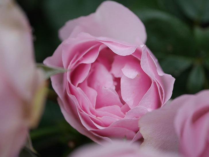 アントニオ・ガウディ(半ツルバラ)の花が満開になった。2020年-037.jpg