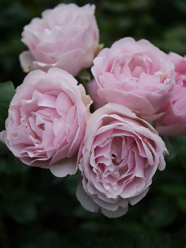 アントニオ・ガウディ(半ツルバラ)の花が満開になった。2020年-040.jpg