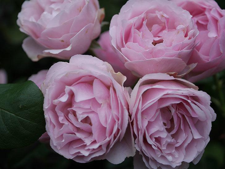 アントニオ・ガウディ(半ツルバラ)の花が満開になった。2020年-041.jpg