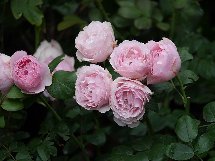 アントニオ・ガウディ(半ツルバラ)の花が満開になった。2020年-042.jpg