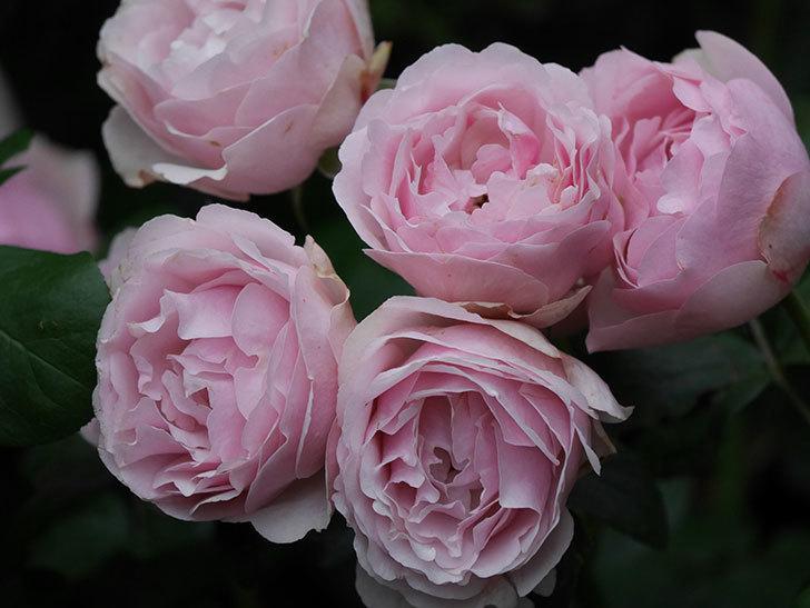 アントニオ・ガウディ(半ツルバラ)の花が満開になった。2020年-043.jpg