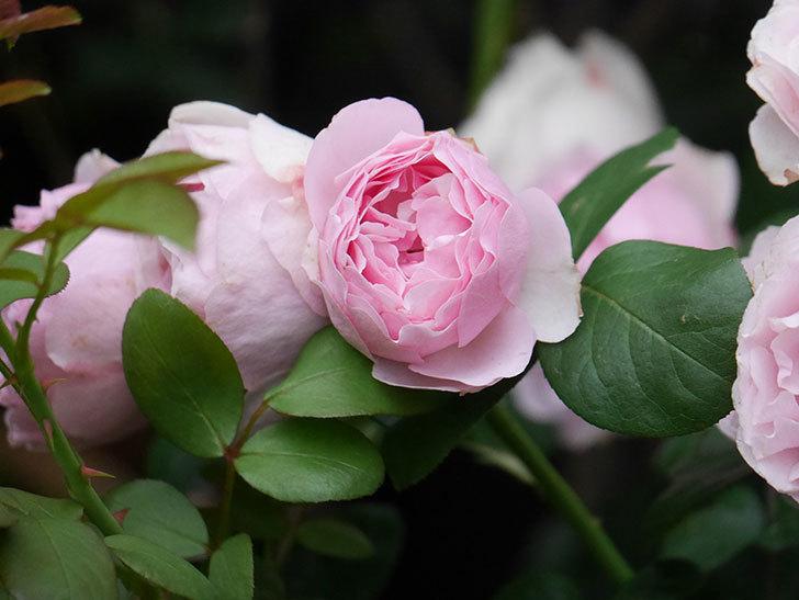 アントニオ・ガウディ(半ツルバラ)の花が満開になった。2020年-044.jpg