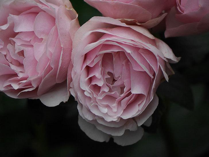 アントニオ・ガウディ(半ツルバラ)の花が満開になった。2020年-045.jpg