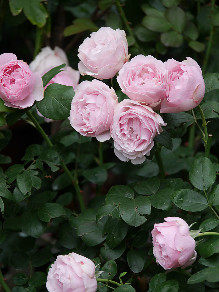 アントニオ・ガウディ(半ツルバラ)の花が満開になった。2020年-046.jpg