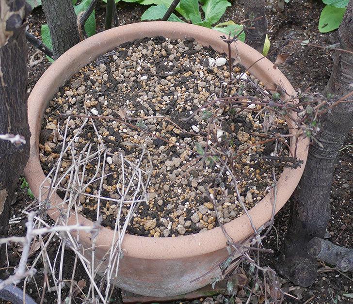 アンドロメダとレッドスターを同じ鉢に植え換えた。2020年-14.jpg