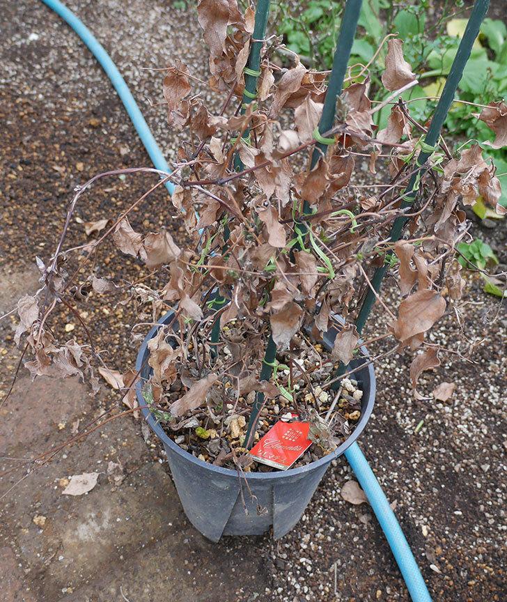 アンドロメダとレッドスターを同じ鉢に植え換えた。2020年-3.jpg