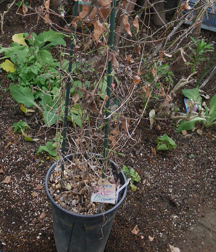 アンドロメダとレッドスターを同じ鉢に植え換えた。2020年-4.jpg