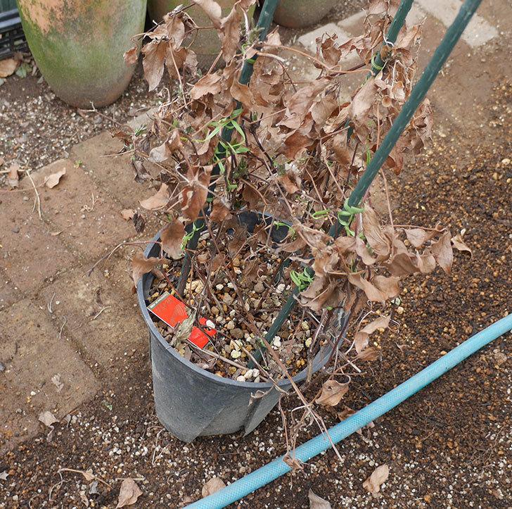 アンドロメダとレッドスターを同じ鉢に植え換えた。2020年-5.jpg