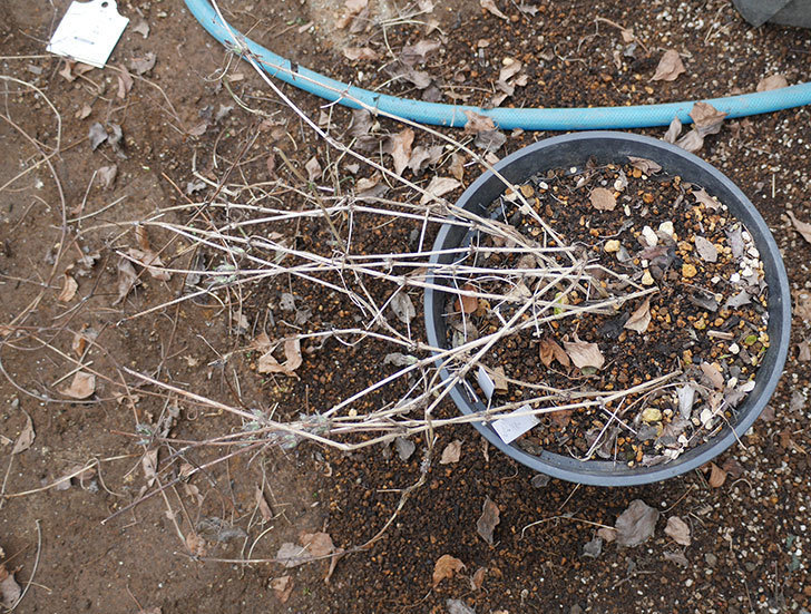 アンドロメダとレッドスターを同じ鉢に植え換えた。2020年-9.jpg