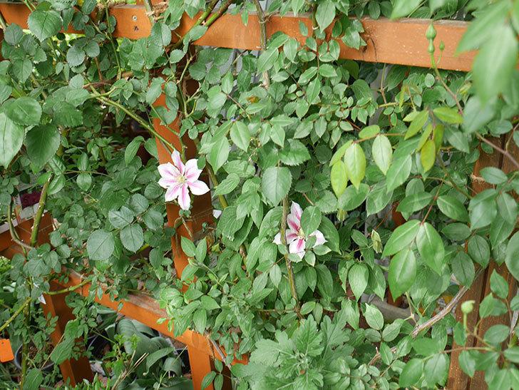 アンドロメダに2個目の花が咲いた。2018年-4.jpg
