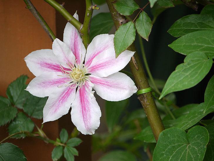 アンドロメダに2個目の花が咲いた。2018年-5.jpg