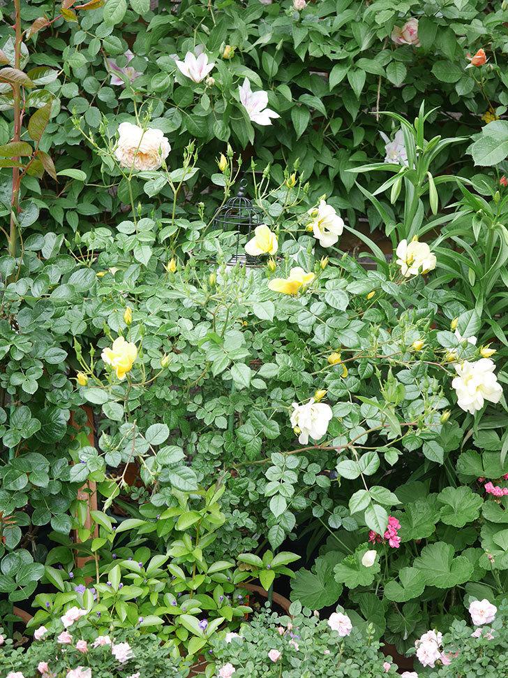 アンドロメダの花がたくさん咲いた。2021年-009.jpg