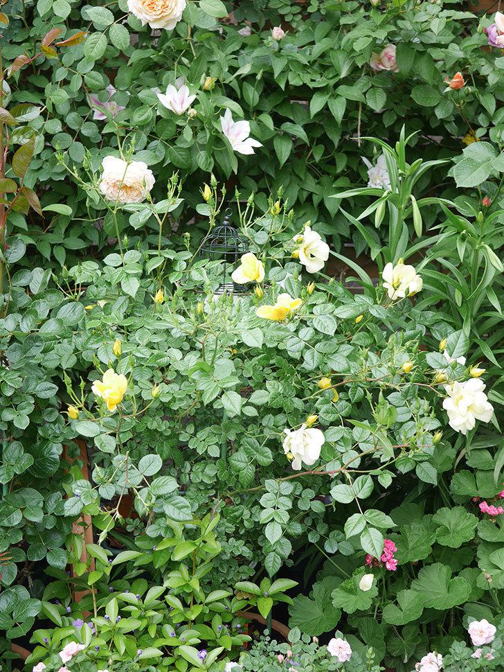 アンドロメダの花がたくさん咲いた。2021年-010.jpg