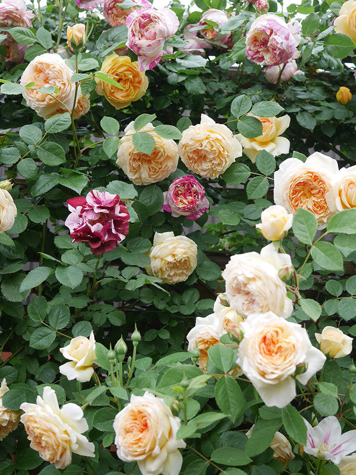 アンドロメダの花がたくさん咲いた。2021年-011.jpg