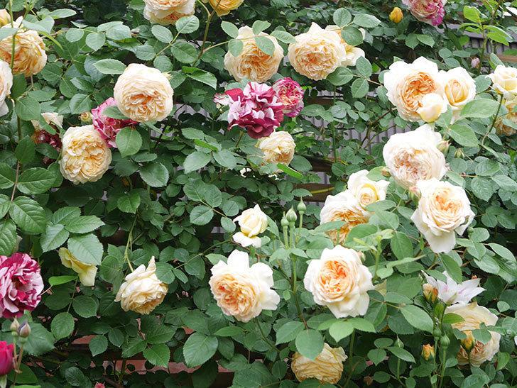 アンドロメダの花がたくさん咲いた。2021年-014.jpg