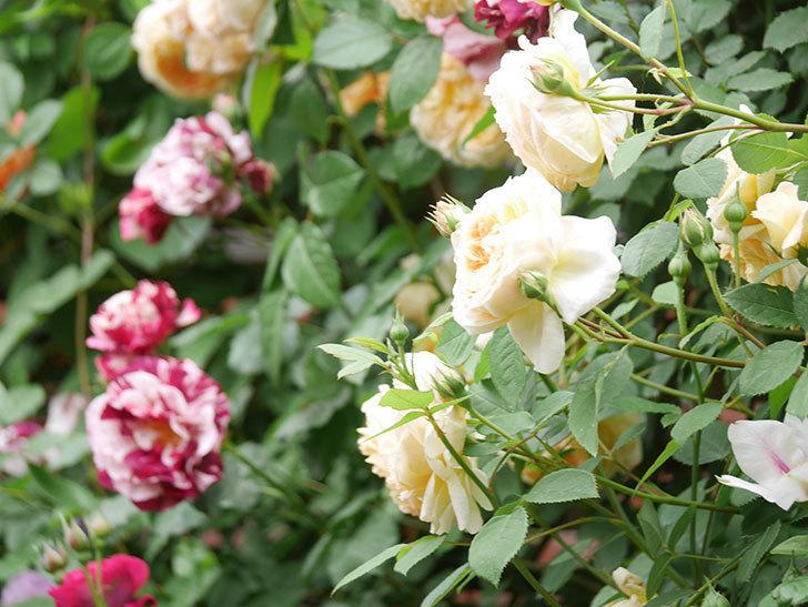 アンドロメダの花がたくさん咲いた。2021年-016.jpg