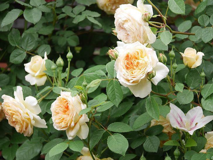 アンドロメダの花がたくさん咲いた。2021年-019.jpg