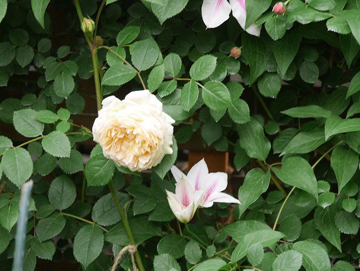 アンドロメダの花がたくさん咲いた。2021年-022.jpg
