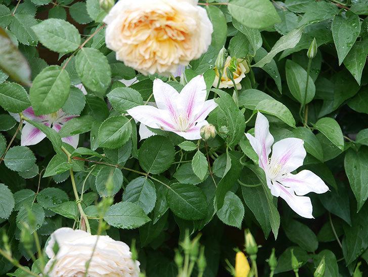 アンドロメダの花がたくさん咲いた。2021年-028.jpg
