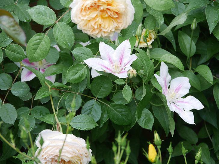アンドロメダの花がたくさん咲いた。2021年-029.jpg