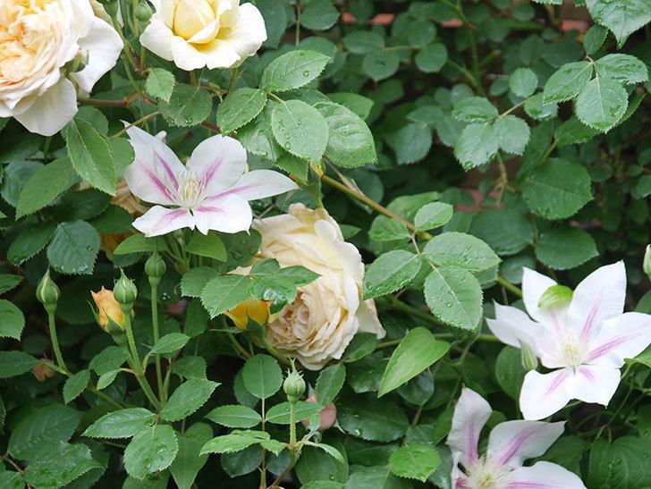 アンドロメダの花がたくさん咲いた。2021年-032.jpg