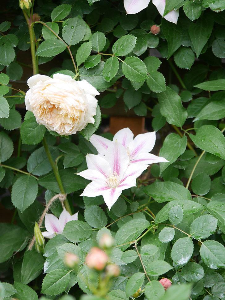アンドロメダの花がたくさん咲いた。2021年-033.jpg