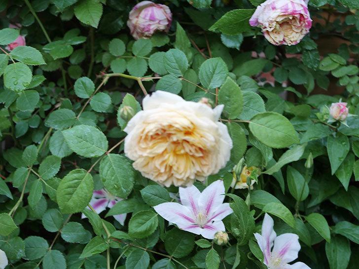 アンドロメダの花がたくさん咲いた。2021年-037.jpg