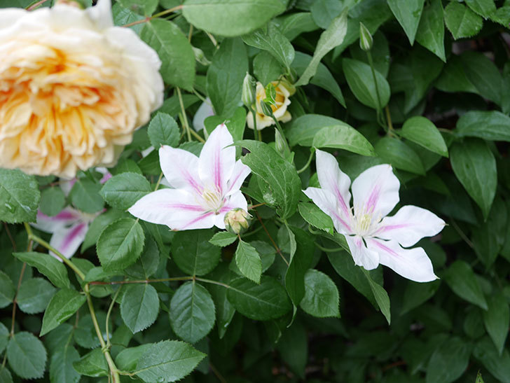 アンドロメダの花がたくさん咲いた。2021年-038.jpg