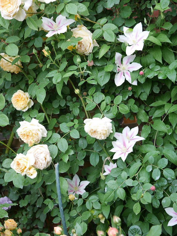 アンドロメダの花がたくさん咲いた。2021年-045.jpg