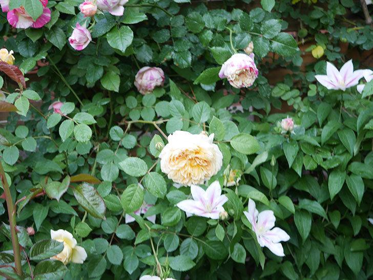 アンドロメダの花がたくさん咲いた。2021年-046.jpg