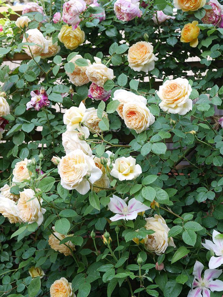 アンドロメダの花がたくさん咲いた。2021年-047.jpg